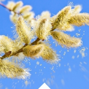 Allergie Blütezeit ist Pollen Zeit